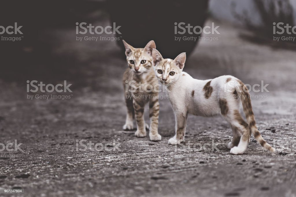 Two cats in a very complicated relationship. Two domestic cats having...
