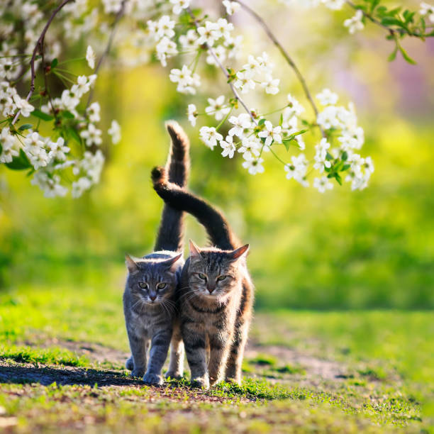 two cats in love they walk side by side in the may sunny garden surrounded by branches of cherry blossoms - cherry blossoms imagens e fotografias de stock