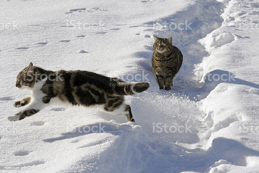 Two cats in the snow royalty-free stock photo