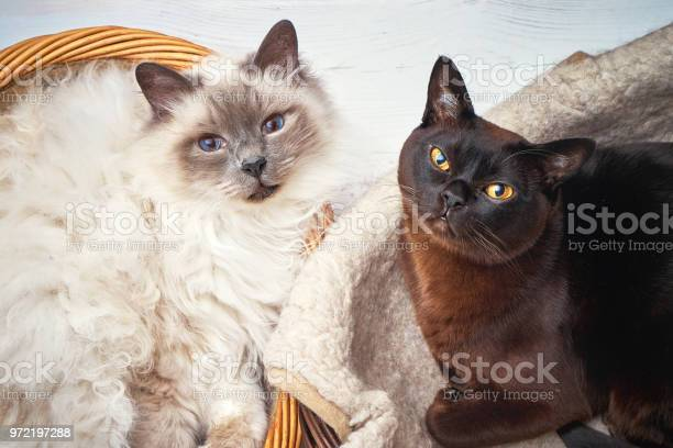 Two cats in wicker basket burmese cat and sacred birma cat lying in a picture id972197288?b=1&k=6&m=972197288&s=612x612&h=1jbtmpnrnt1qtaetaxeqaradgf7813amjwa9qzxipvs=