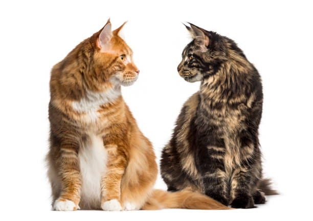 Two cats looking each other, ialosted on white stock photo