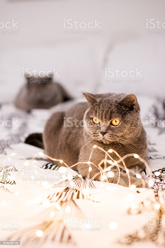 Two cats on the christmas linen with christmas lights. – Foto