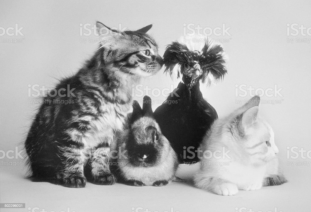 Two cats, one rabbit, a crested dutch rooster, portrait, b/w royalty-free stock photo