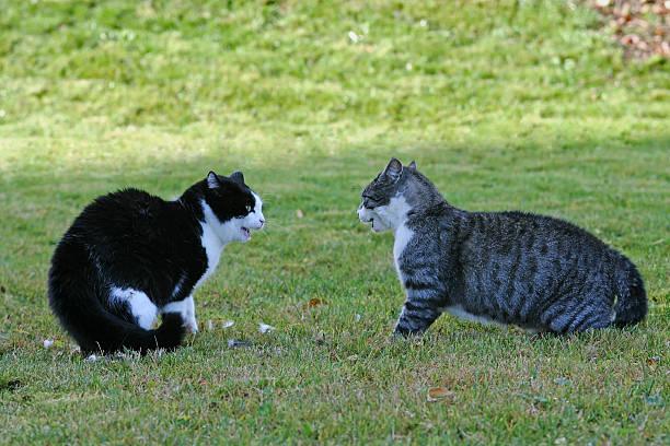 zwei katzen - revierverhalten stock-fotos und bilder