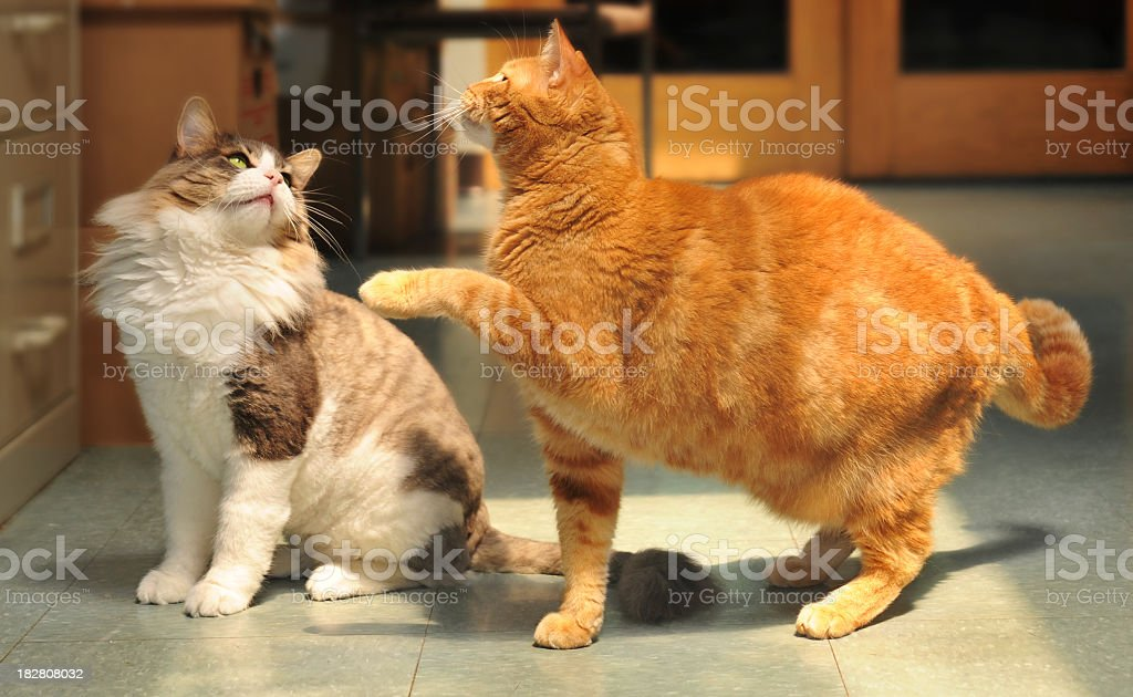 Two cats playing and looking up stock photo