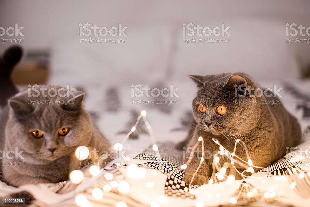 Two cats playing with christmas lights – Foto