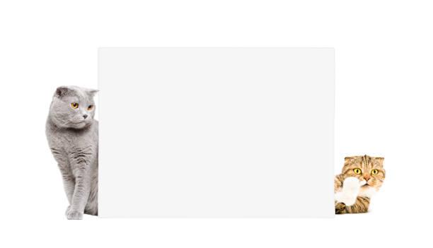 Two cats scottish fold peeking from behind a poster picture id926093066?b=1&k=6&m=926093066&s=612x612&w=0&h=0 z86v6jqfigl7u3fmioxct 0 tltte hrw7pdz i40=