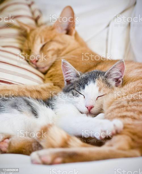 Two cats sleeping together with striped pillow picture id124656808?b=1&k=6&m=124656808&s=612x612&h=ee4a m69bndznfi4dkpgopae9osvh3ukizium6vkipo=