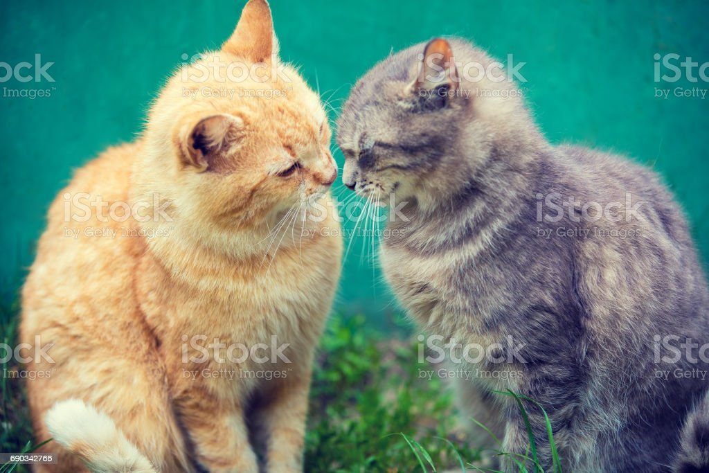 Two cats sniffing to each other outdoor stock photo