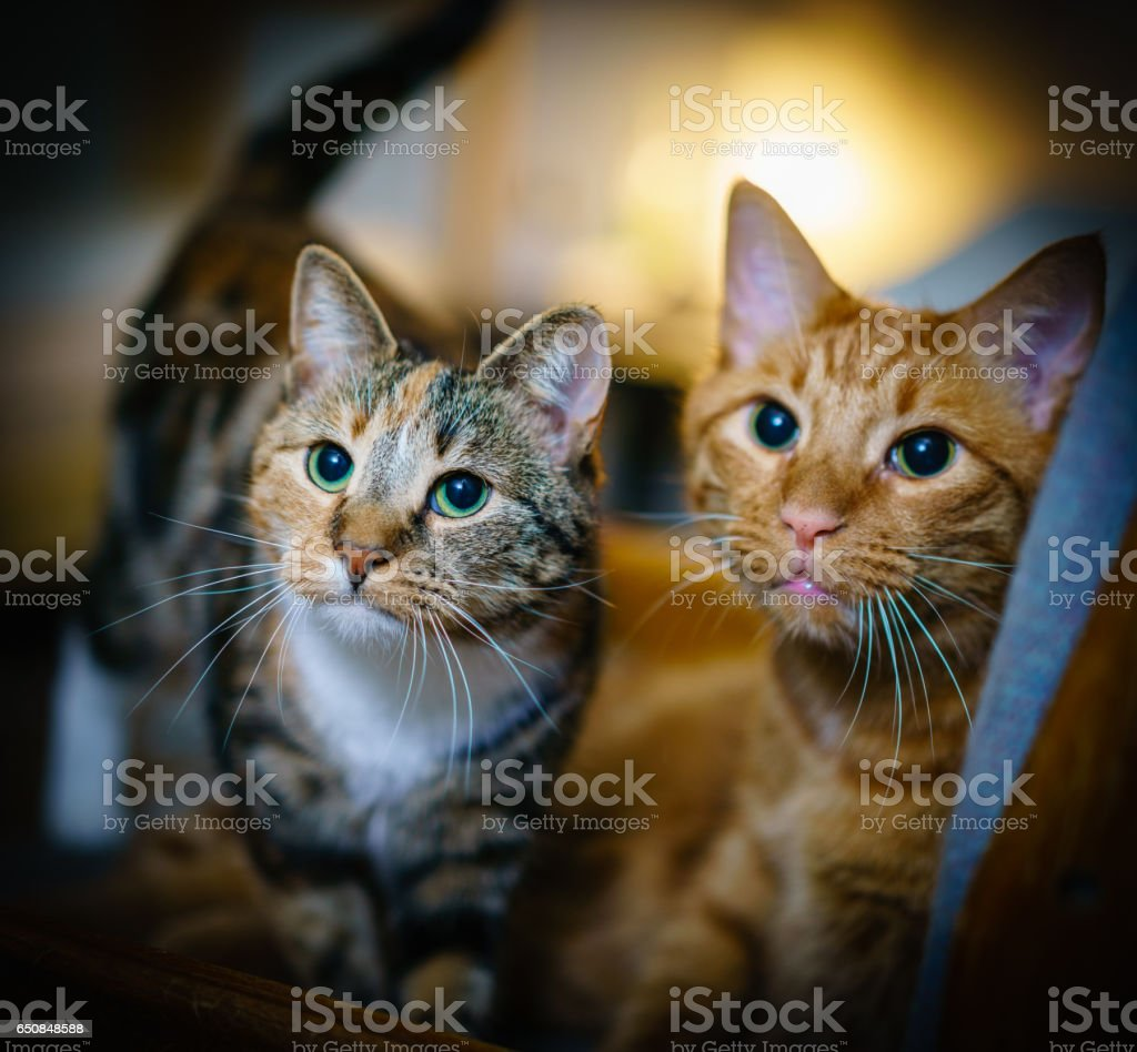 Two cats take portrait together stock photo
