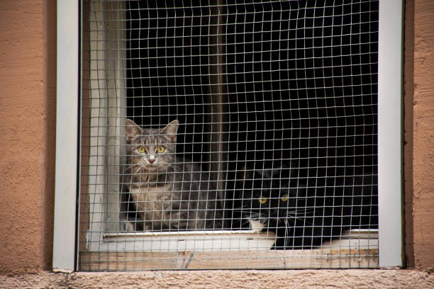 Two cats waiting owner and looking outside at window wire mesh of picture id1069163776?b=1&k=6&m=1069163776&s=612x612&w=0&h=7ttgpf tbjjo5n5atoswvrwl1cqczpmkci3q6zm0w2y=