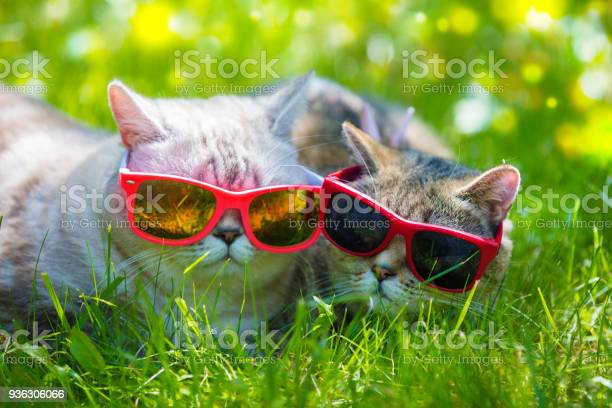 Two cats wearing sunglasses lying in a grass in sunny day picture id936306066?b=1&k=6&m=936306066&s=612x612&h=ub72sbuxtewgcibrtdpe7zrup73tf 2oaxcsle7mkpc=