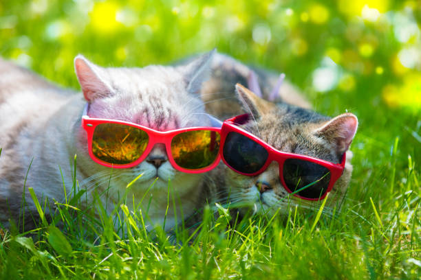 Two cats wearing sunglasses lying in a grass in sunny day picture id936306066?b=1&k=6&m=936306066&s=612x612&w=0&h=tsbtngr c8nz3w pefehe3cab4imxsgln1a3gtopq y=