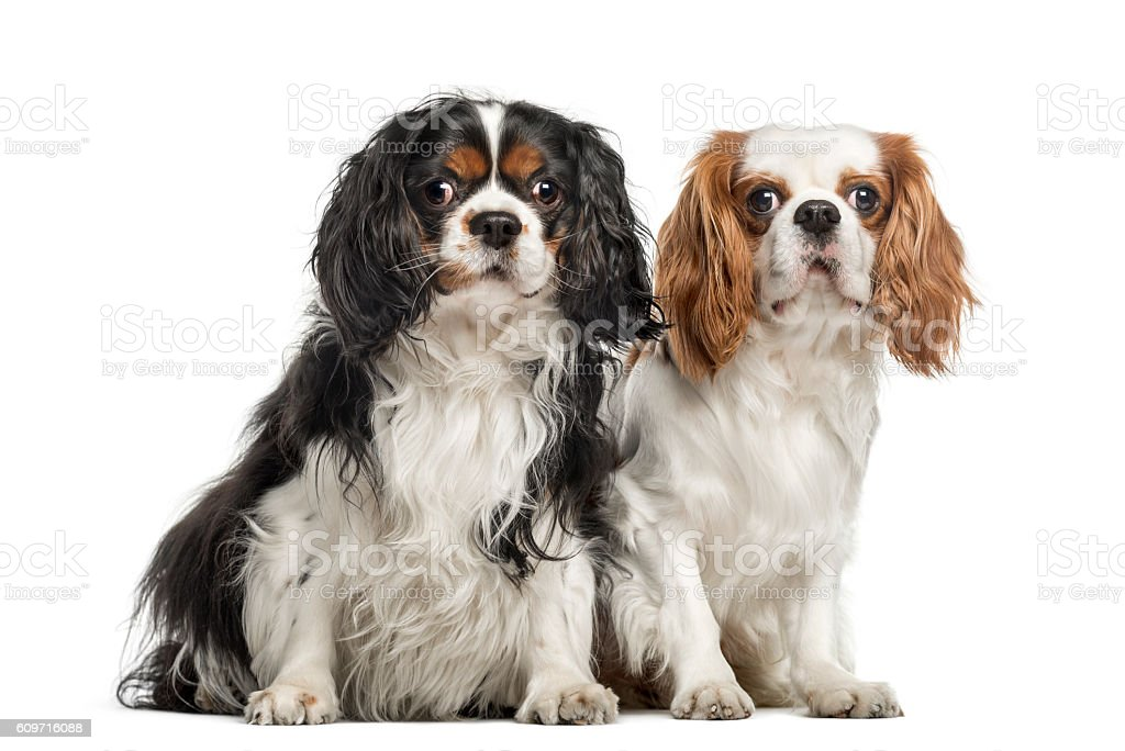 Two Cavalier King Charles Spaniels, sitting together stock photo