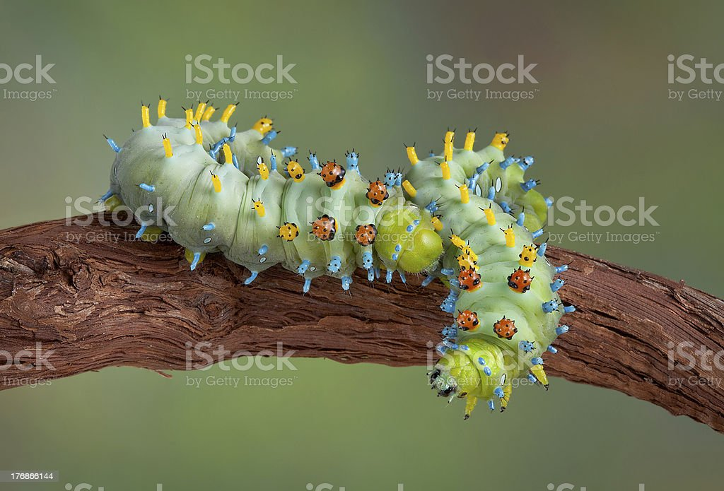 Two cecropia caterpillars on vine stock photo