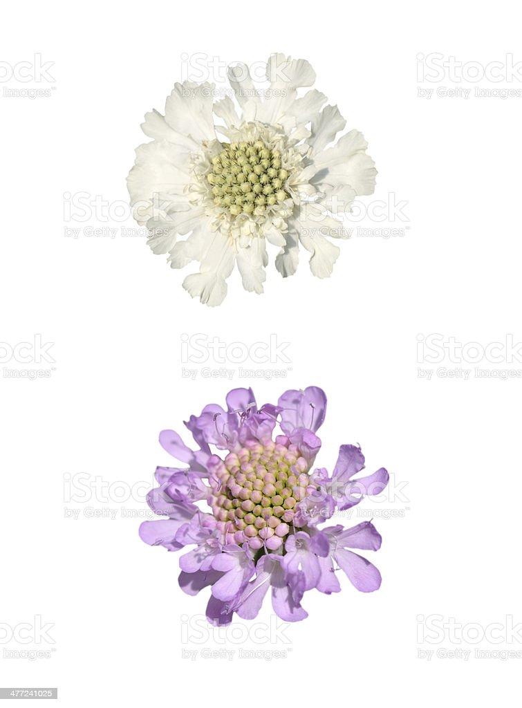 Two Cephalaria Alpina stock photo