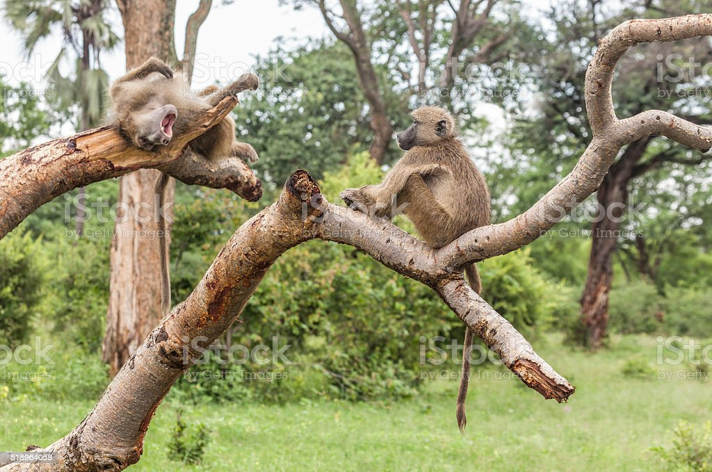 Two Chacma Baboons resting on tree trunks, Zambia stock photo