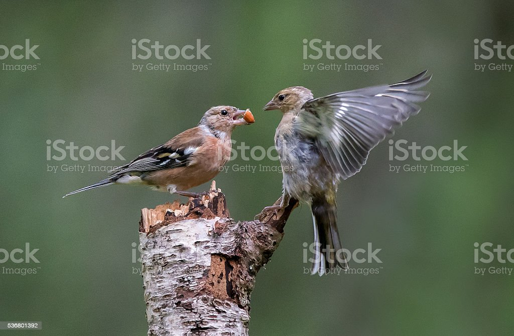 Two Chaffinch (fringilla coelebs) one with peanut and one challenging stock photo