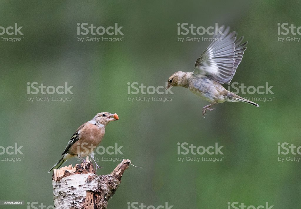 Two Chaffinch (fringilla coelebs) one with peanut and one flying stock photo