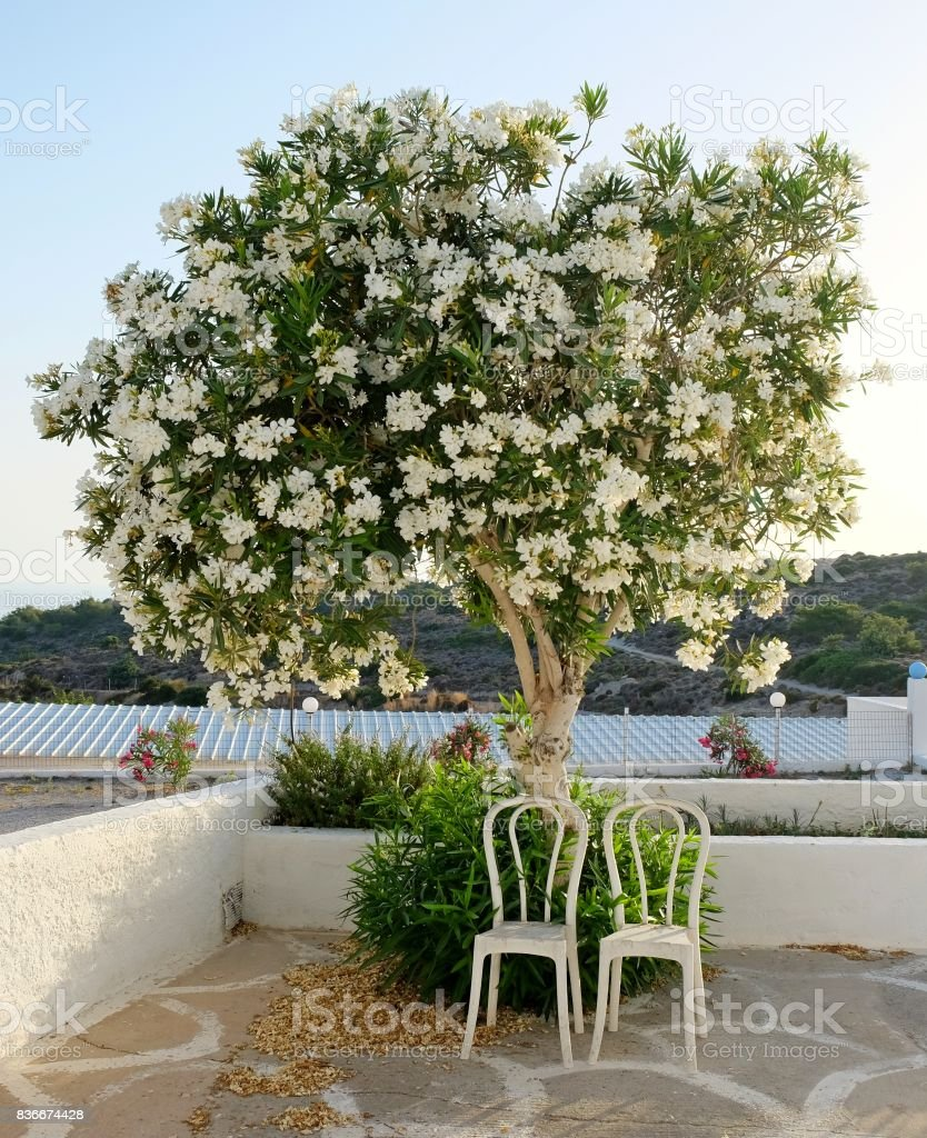 Two Chairs Standing Under The Tree With White Flowers Stock Photo