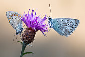 istock Two Chalk Hill Blue Butterflies on a purple thistle flower 898589970