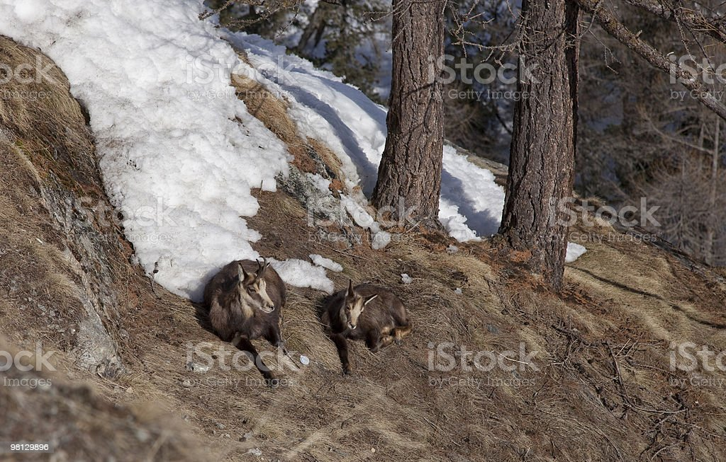 Two Chamois royalty-free stock photo