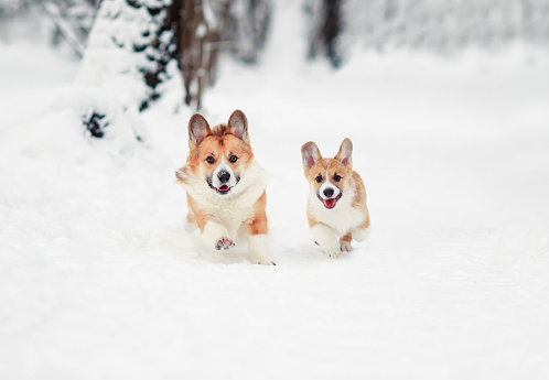 two cheerful dog red Corgi with their puppy run merrily through the white snow in the winter Park