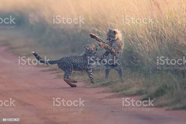 Two cheetah cubs playing early morning in a dirt road picture id891552902?b=1&k=6&m=891552902&s=612x612&h=h7kcbjowamyu4bnrq9tufepfqku35liou62tsept6py=