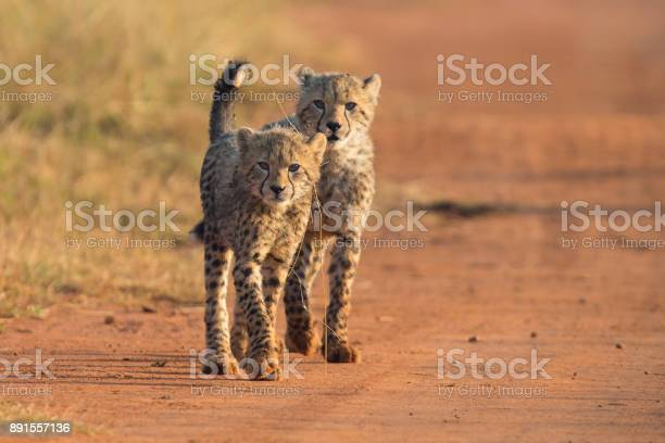 Two cheetah cubs playing early morning in a dirt road picture id891557136?b=1&k=6&m=891557136&s=612x612&h=b11  zrnktesiujuuoo5ivfzi4hsktmxm23igovrqre=