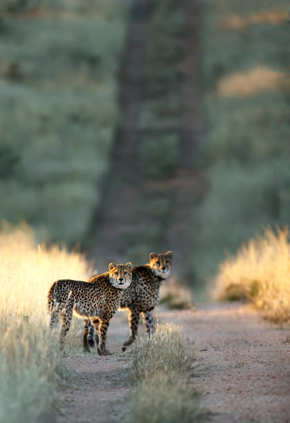 Two Cheetah in last light of day Two Cheetah in last light of day kruger national park stock pictures, royalty-free photos & images