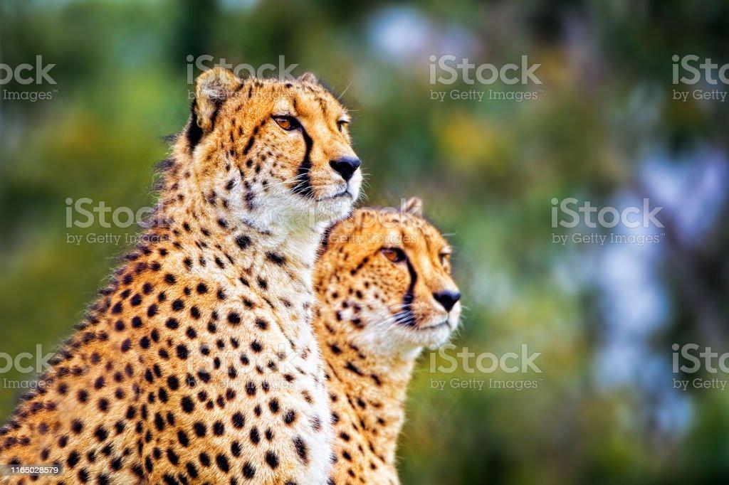 Two Cheetah (Acinonyx jubatus) - Royalty-free Animal Stock Photo