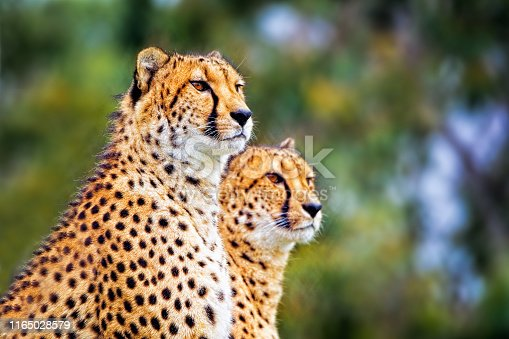 Male and female cheetah sitting and looking off into the distance
