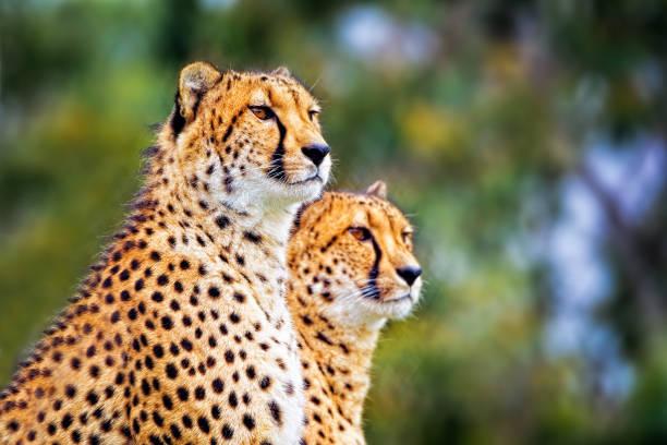 Two Cheetah (Acinonyx jubatus) stock photo