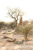 Portrait of a cheetah in dappled light