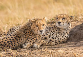 Cheetah and cub close-up. Masai Mara National Reserve. Kenya.