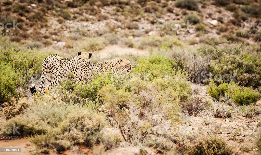 Two Cheetahs in The Bush of South Africa royalty-free stock photo