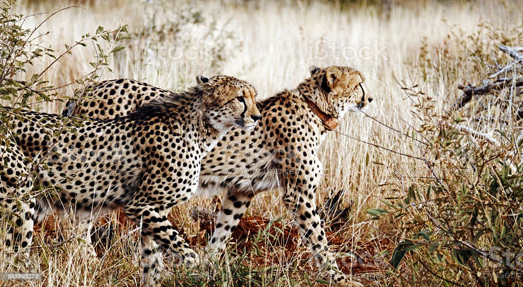Two cheeths walking in Madikwe Game Reserve,South Africa royalty-free stock photo