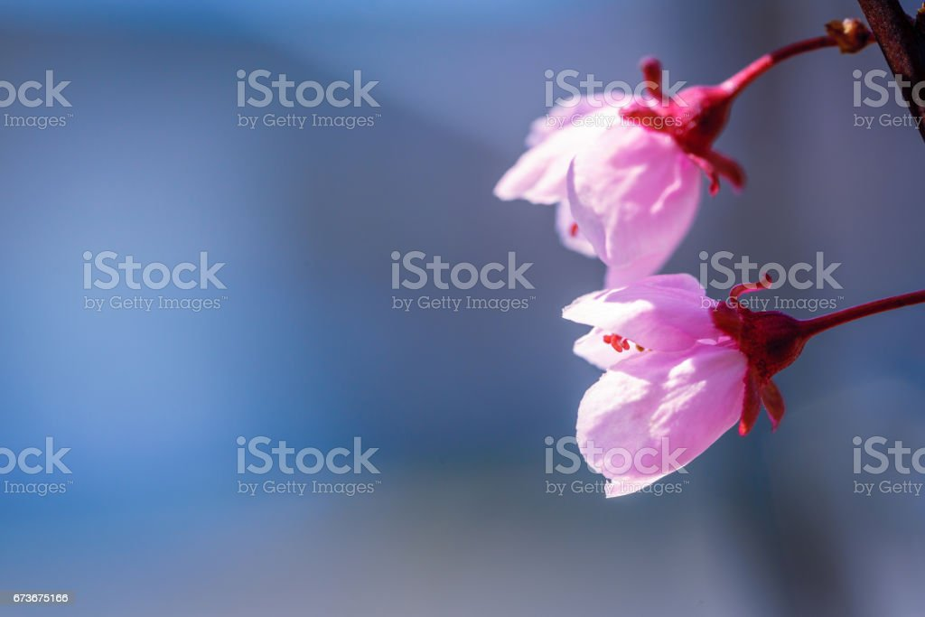 Two cherry blossoms in the Spring stock photo