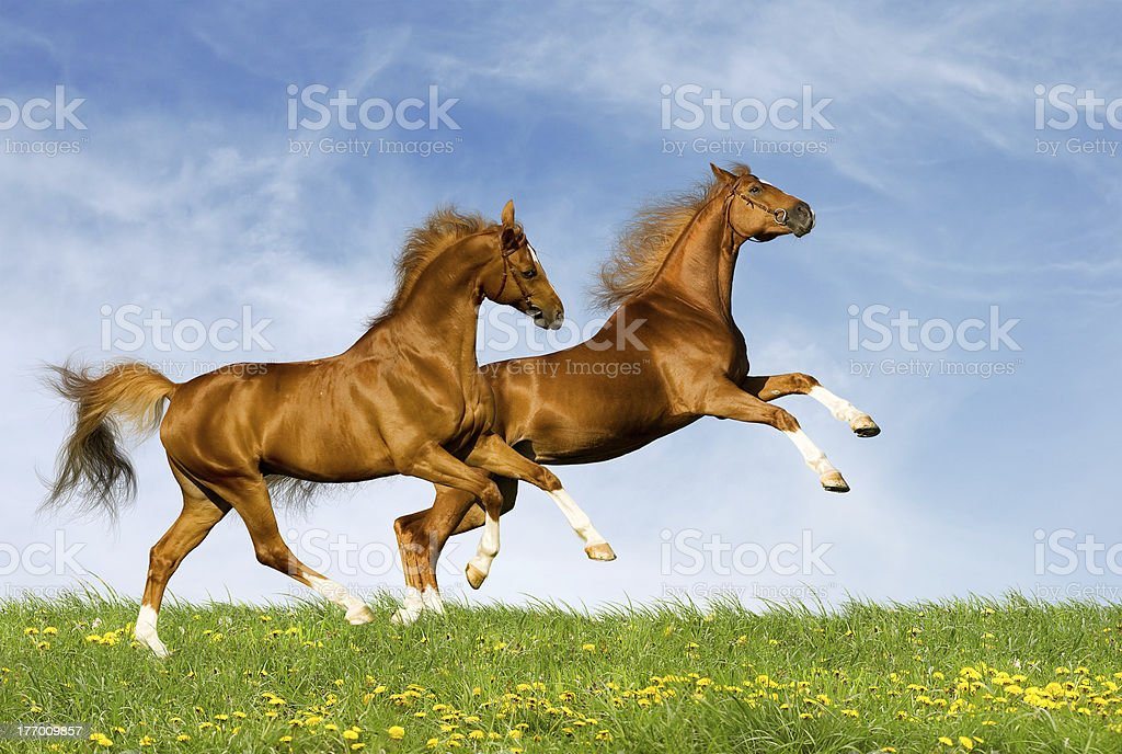 Two chestnut horses gallops in field royalty-free stock photo