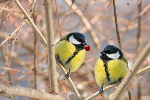 Two chickadee birds sit on a tree branch in winter.