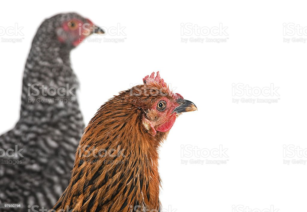 Two chicken detail royalty-free stock photo