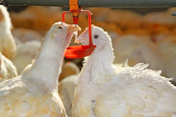 Zwei Hühner sind Mineralwasser, in einem chicken farm – Foto
