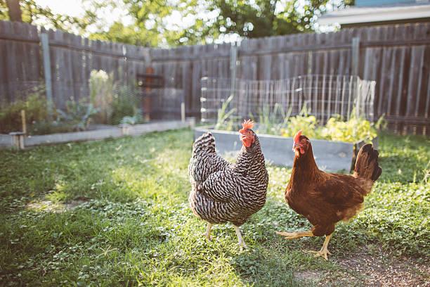 two chickens in a backyard - frigående bildbanksfoton och bilder