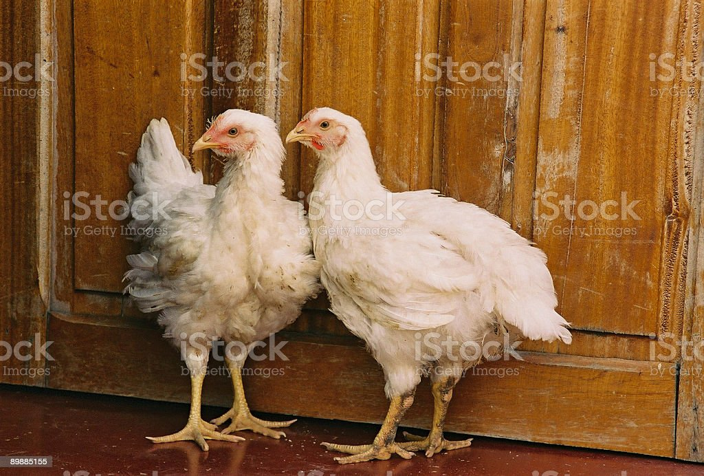 two chickens royalty-free stock photo