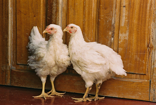 Two Chickens Stock Photo - Download Image Now