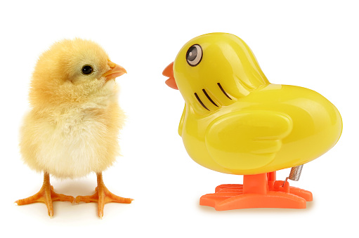 Two chicks one real other artificial funny scene