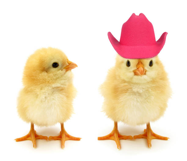 deux poussins un avec le chapeau rose fou - chapeau de cow boy photos et images de collection