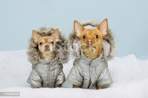 Two Chihauhaus Wearing Winter Coats
