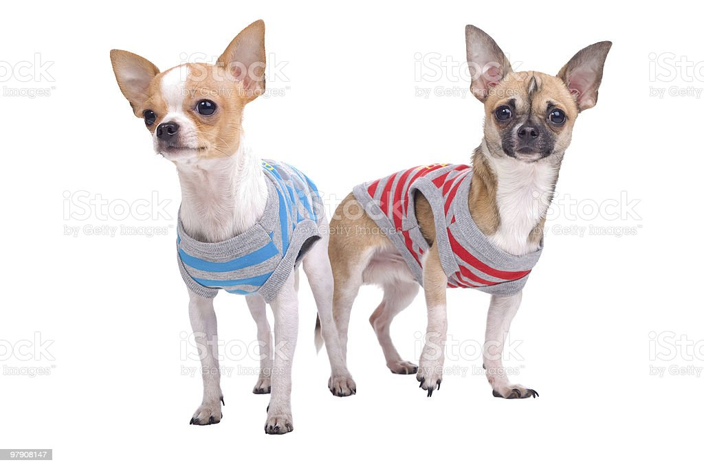 two chihuahua dogs royalty-free stock photo