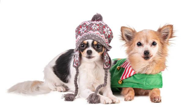 Zwei Chihuahua für Weihnachten – Foto